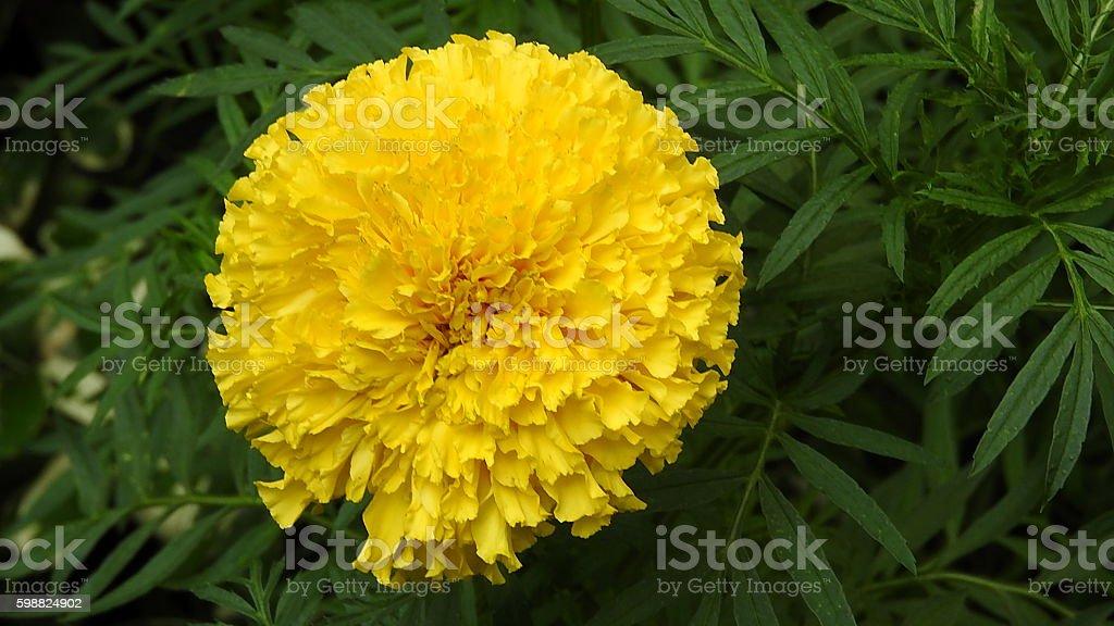 Marigold yellow flowers stock photo