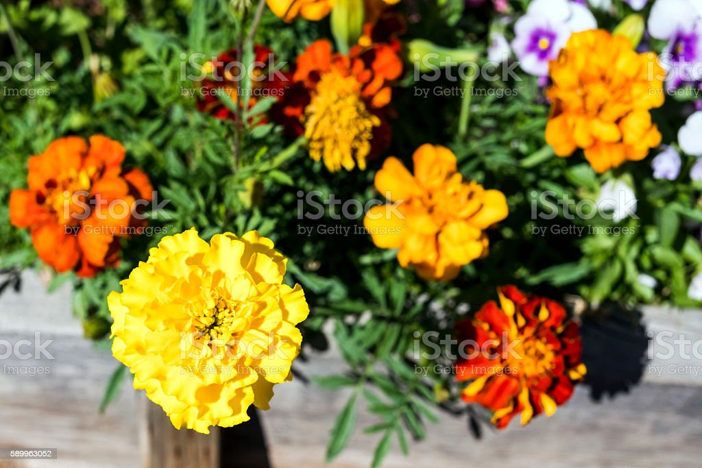 Marigolds and Pansies stock photo