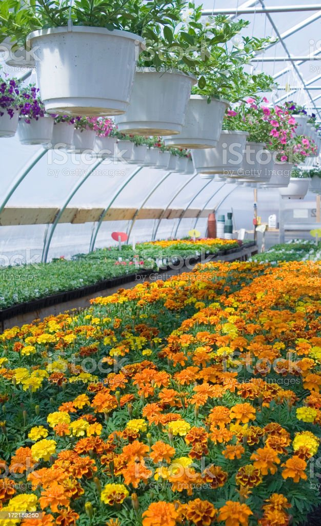 Marigolds and Petunias royalty-free stock photo