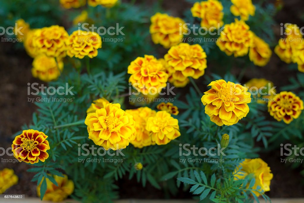 Marigolds flower stock photo
