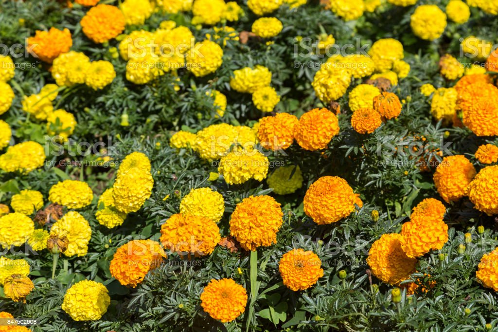 marigolds flowers in different colors in sunny day stock photo