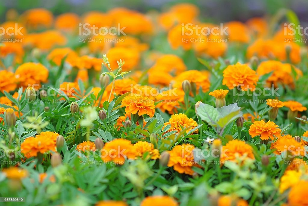 Marigolds flowers in the meadow stock photo