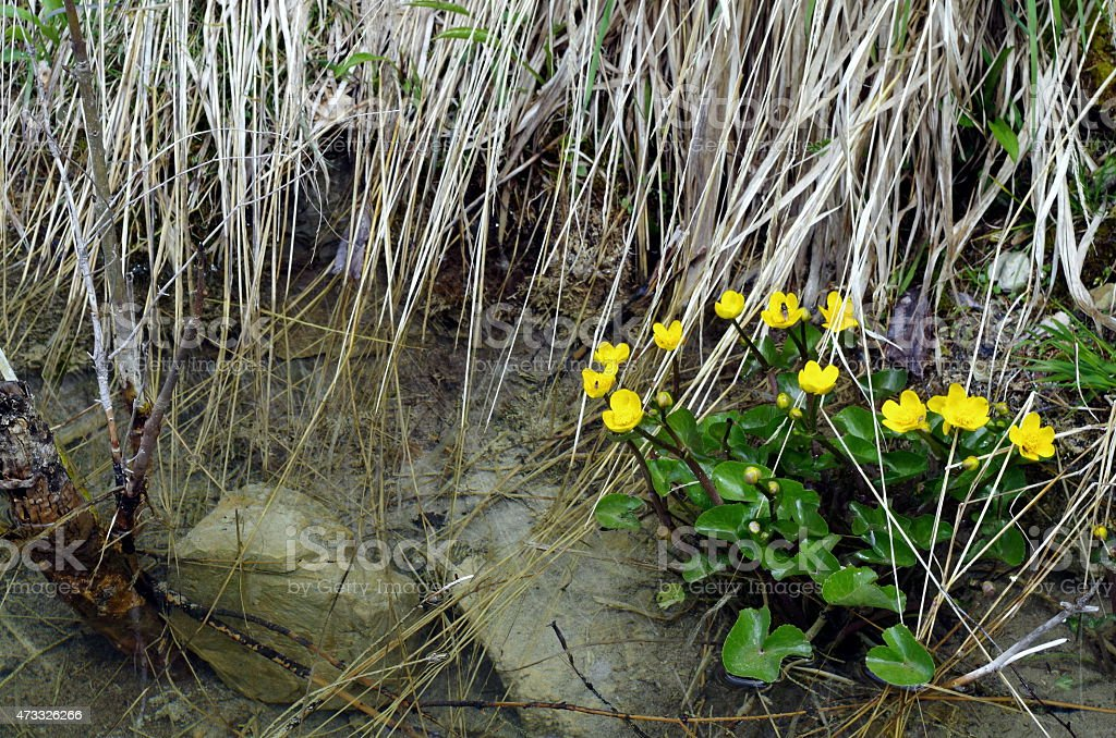 Marigolds in the ditch stock photo