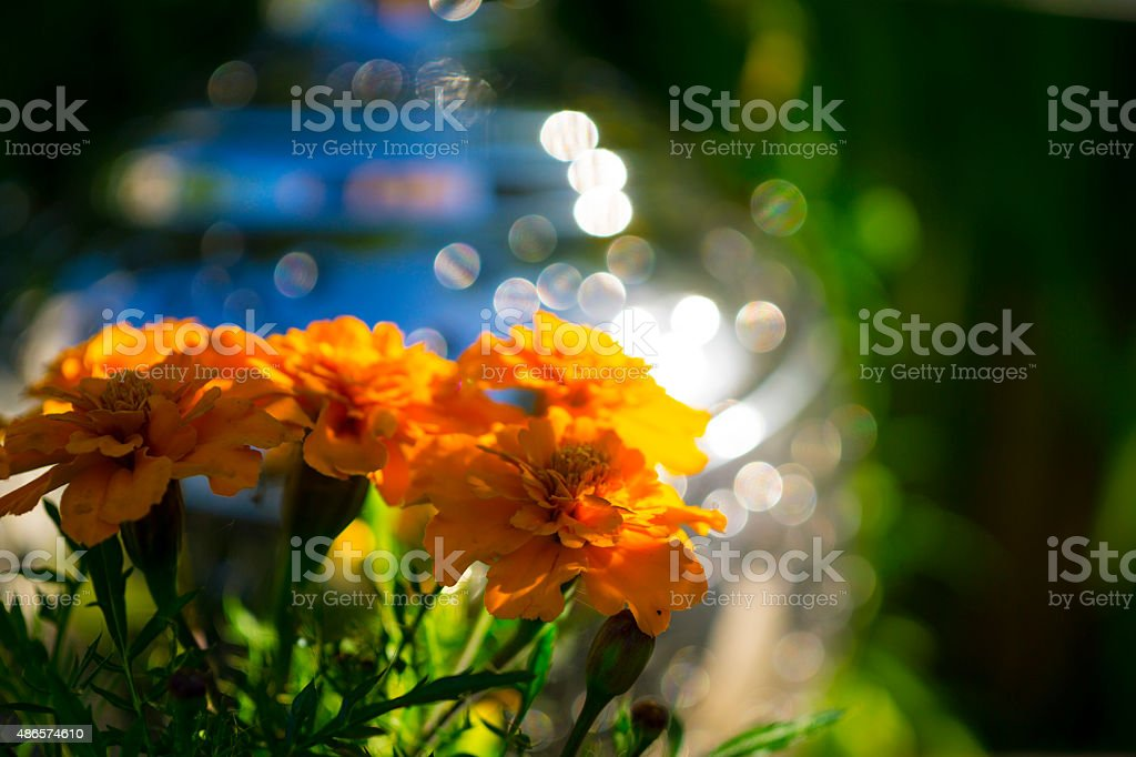 Marigolds stock photo