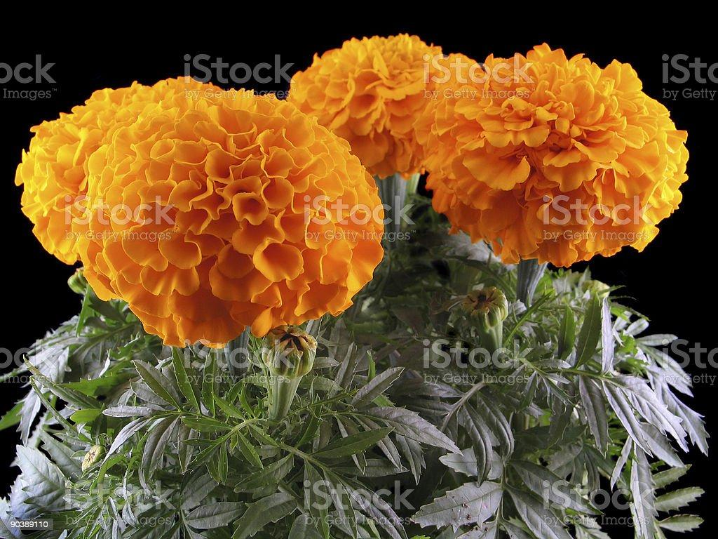 Marigolds royalty-free stock photo