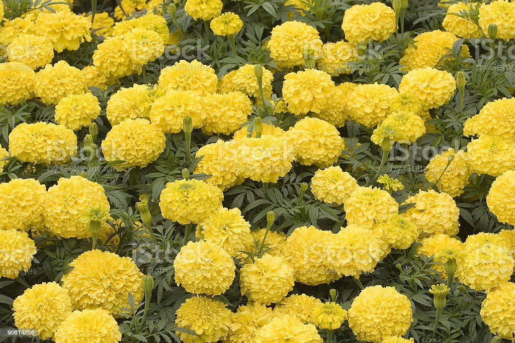 Marigolds royalty-free stock photo
