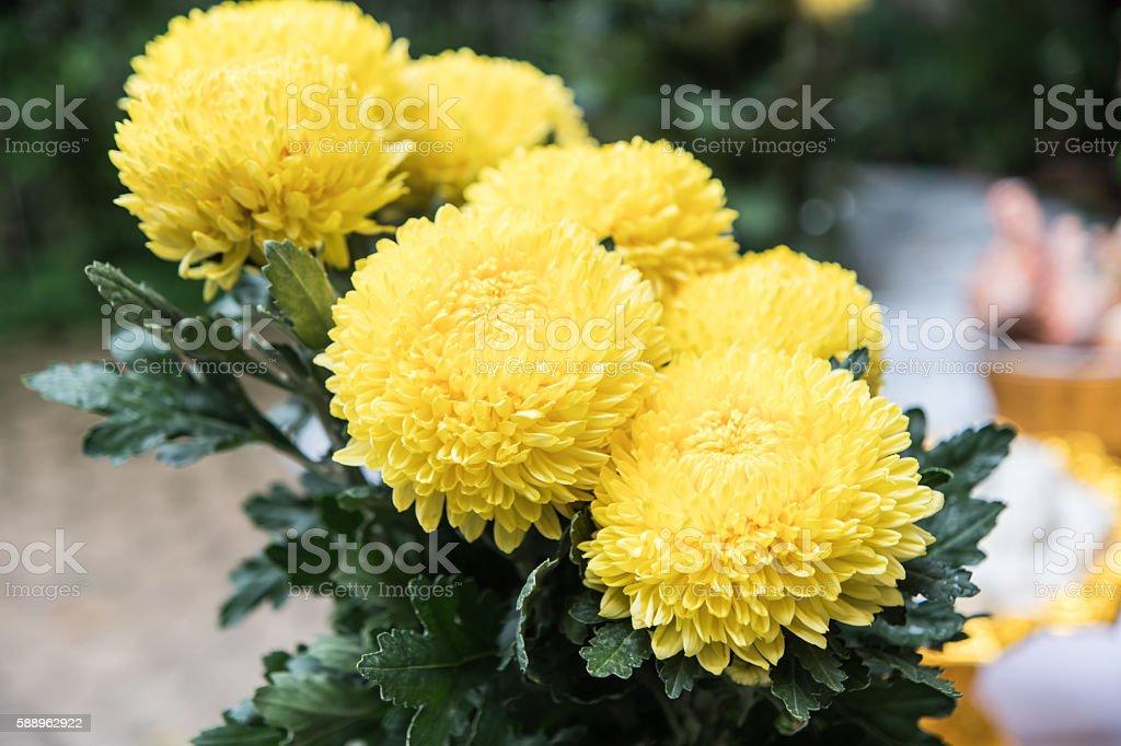 Marigolds (Tagetes erecta, Mexican marigold, stock photo