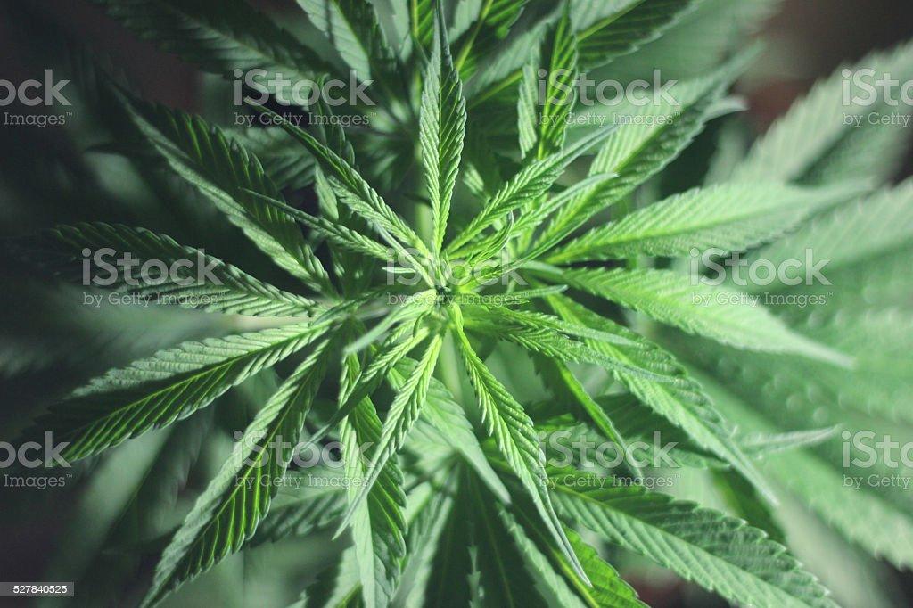 Marihuana Plant royalty-free stock photo