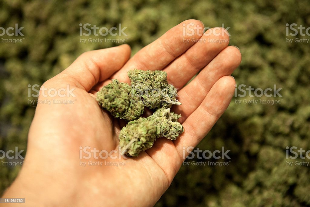 Marijuana buds in hand. stock photo