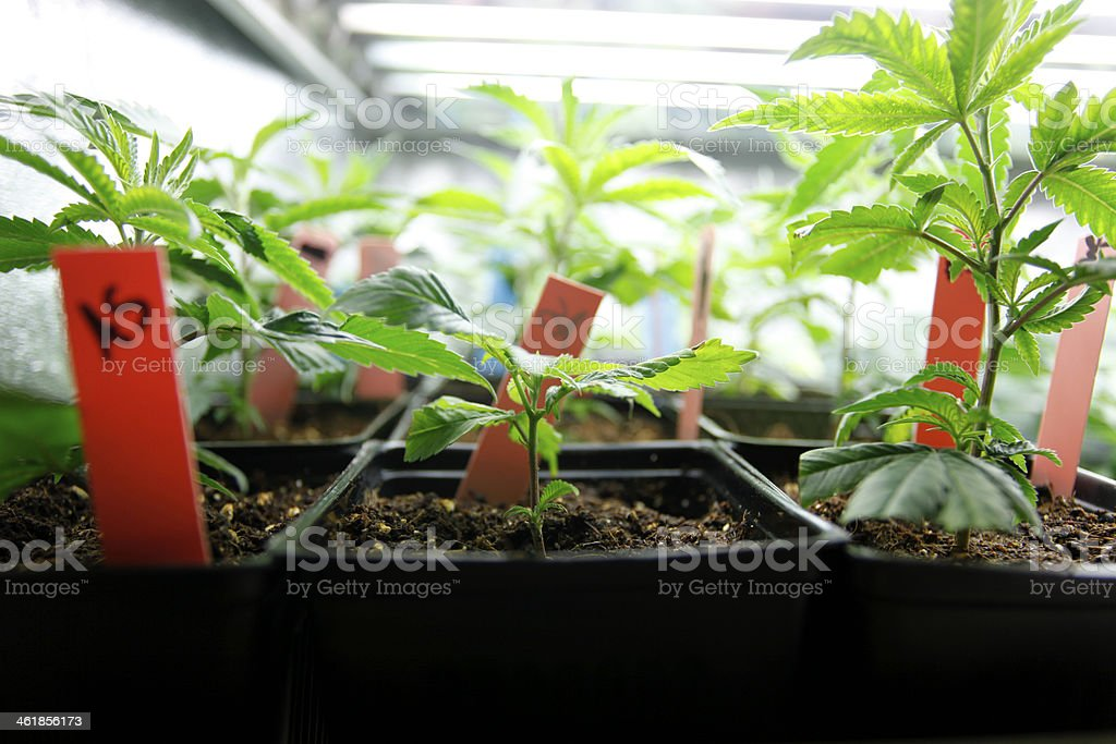 Marijuana crop stock photo