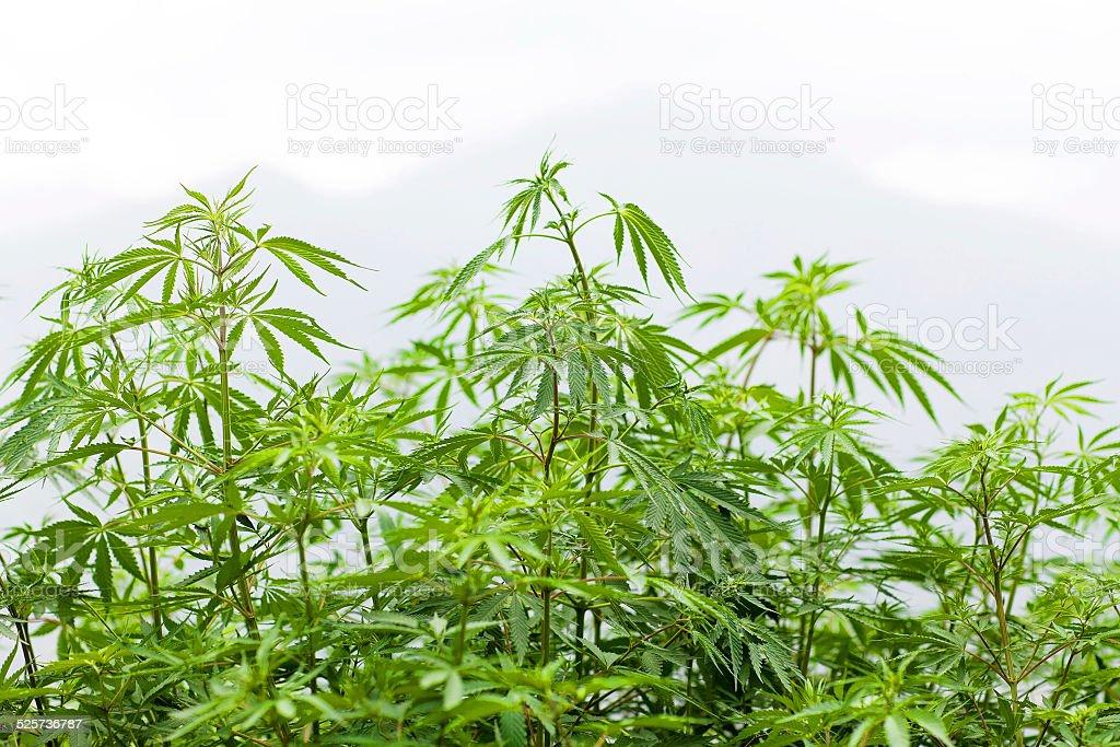 Marijuana foliage stock photo