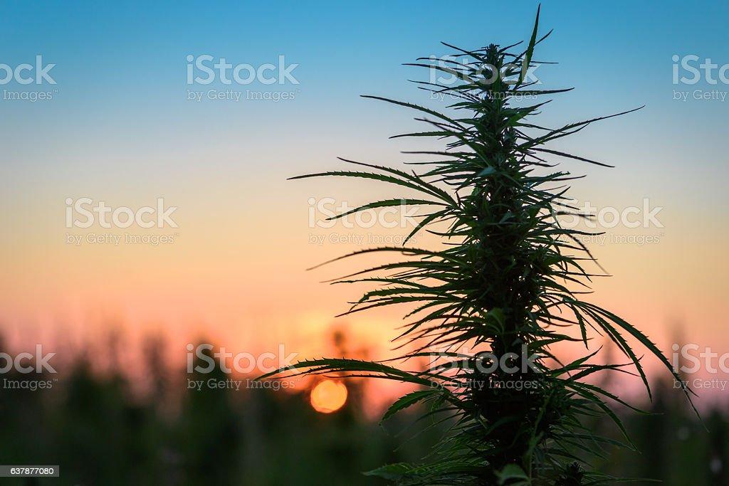 Marijuana in evening stock photo