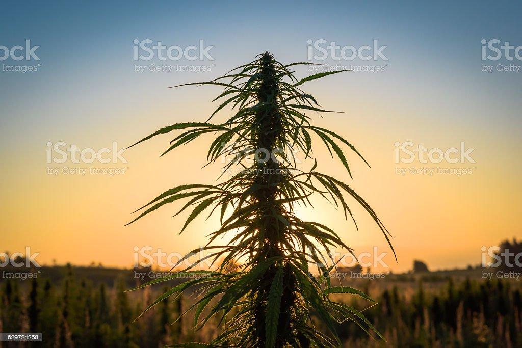 Marijuana in field stock photo