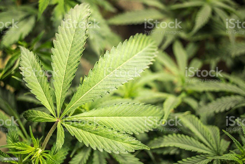 Marijuana Leaf of Indoor Garden with Shallow Depth of Field stock photo