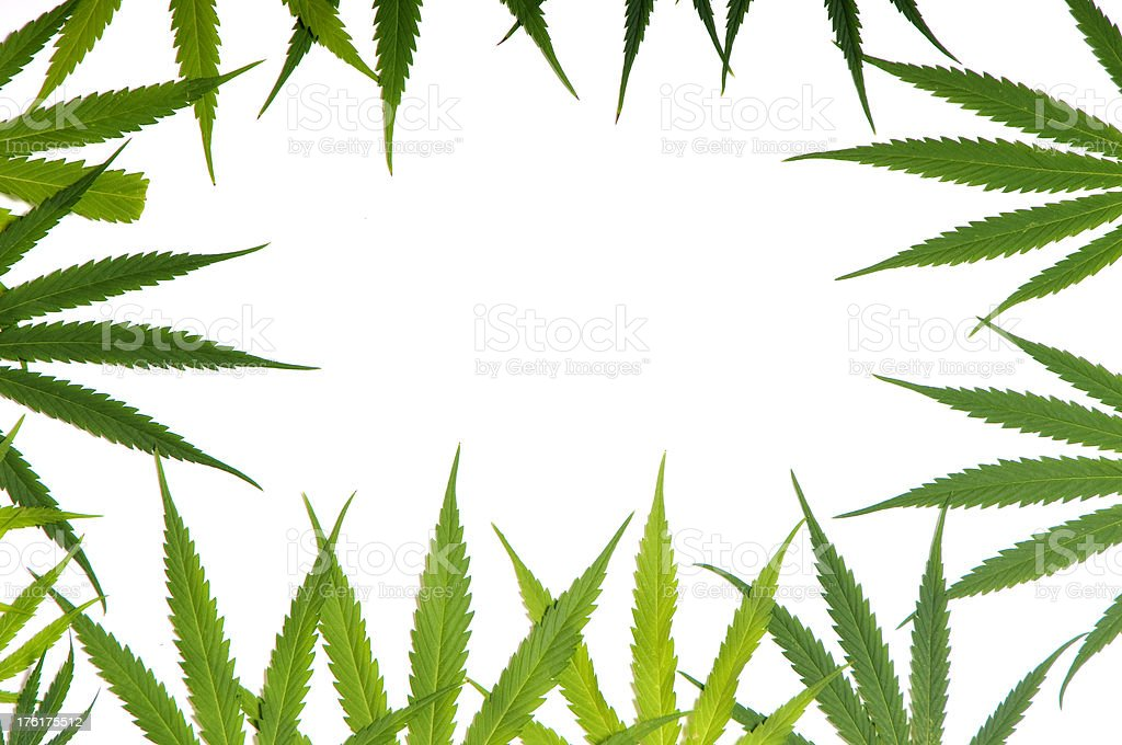 Marijuana Leafs stock photo