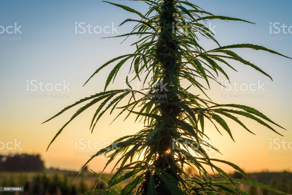 Marijuana on background sky stock photo