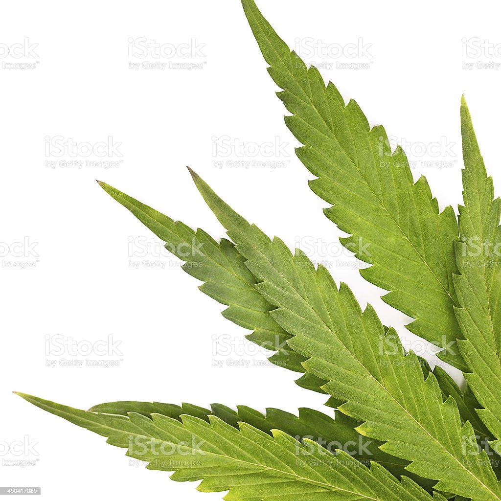 Marijuana or Cannabis stock photo