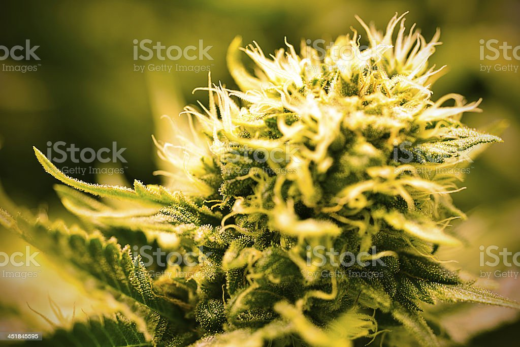 Cannabis Bud gros plan photo libre de droits