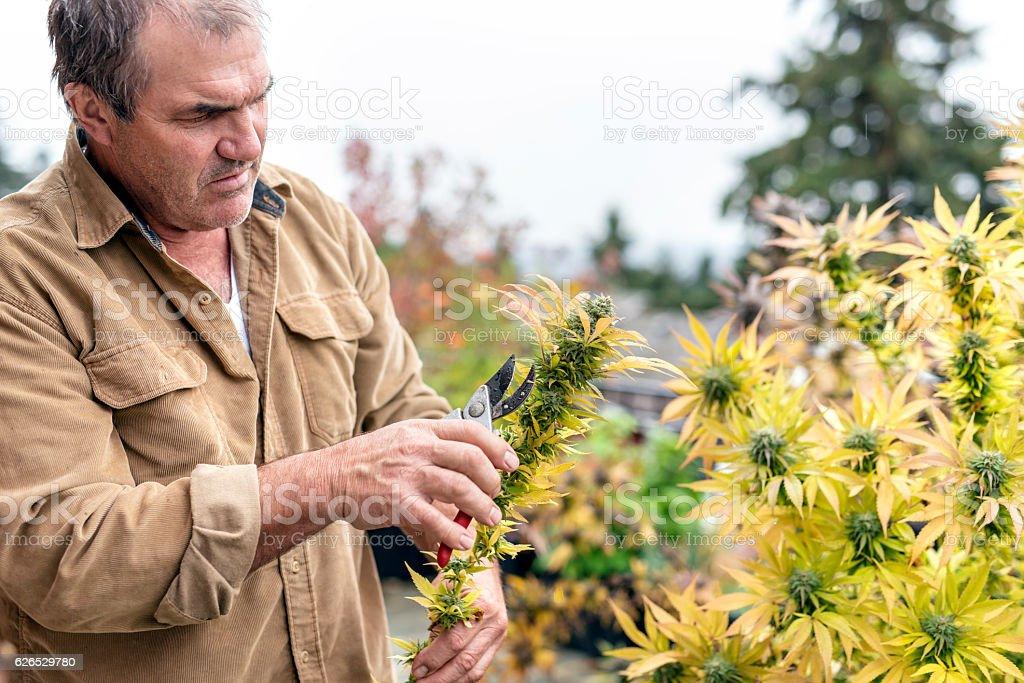 Marijuana plant farmer harvesting the cannabis buds stock photo