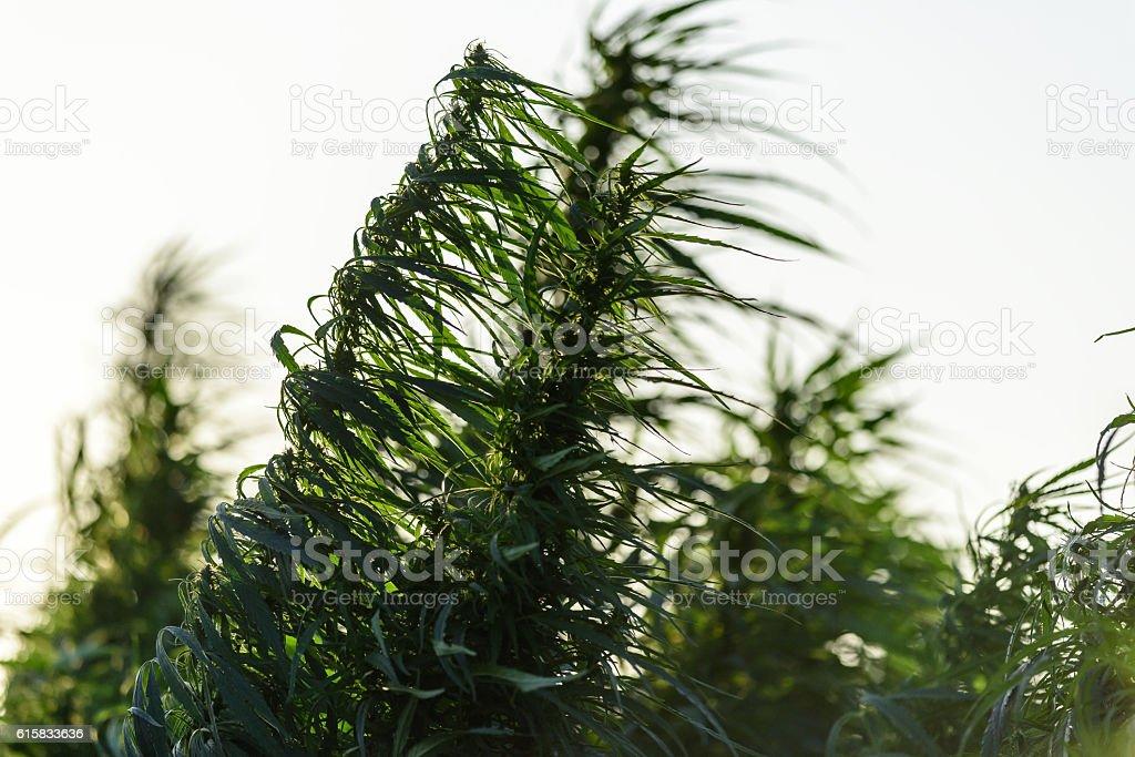 Marijuana plant growing stock photo