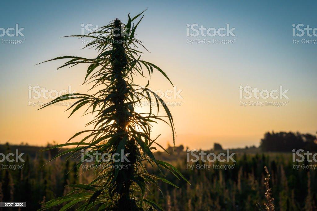 Marijuana plant in the meadow stock photo
