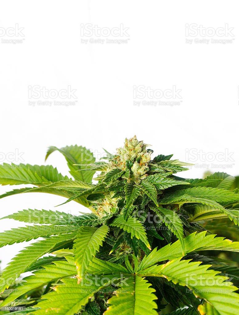 Marijuana Plant on White Background stock photo