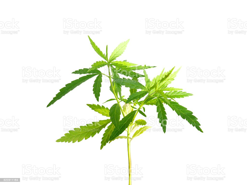 Marijuana plant (with clipping path) stock photo