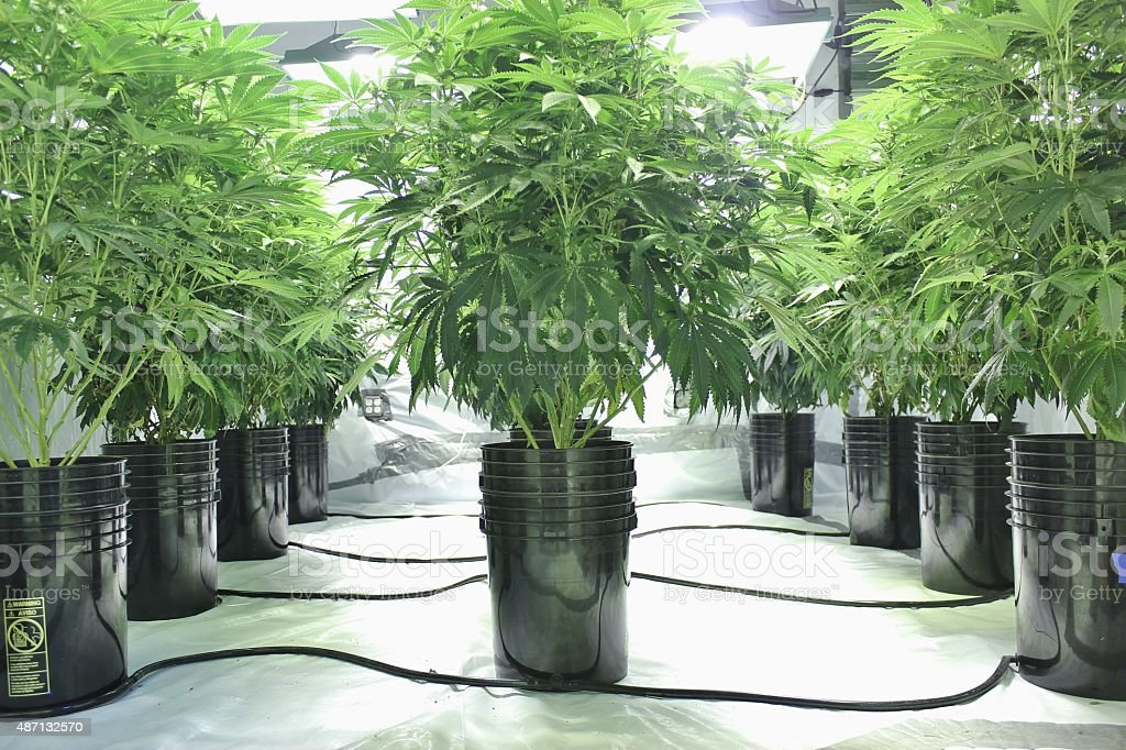 Marijuana plants growing indoors using hydroponics stock photo