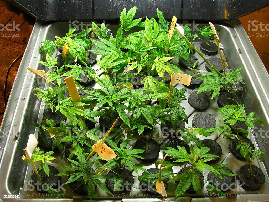 Marijuana plants in a  cloning machine stock photo