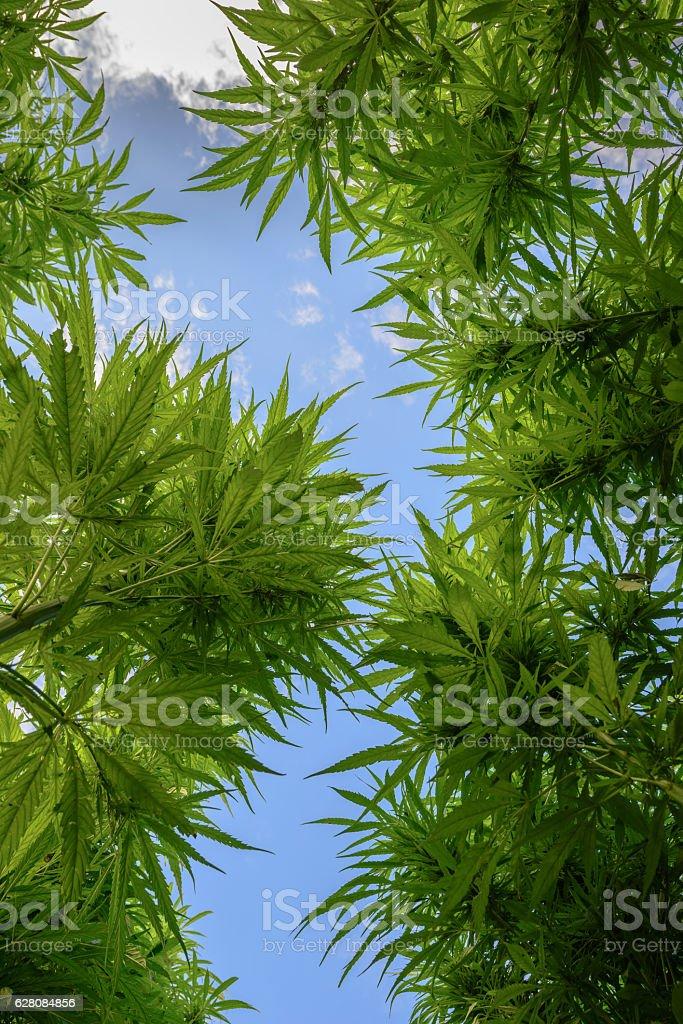 Marijuana view bottom up stock photo