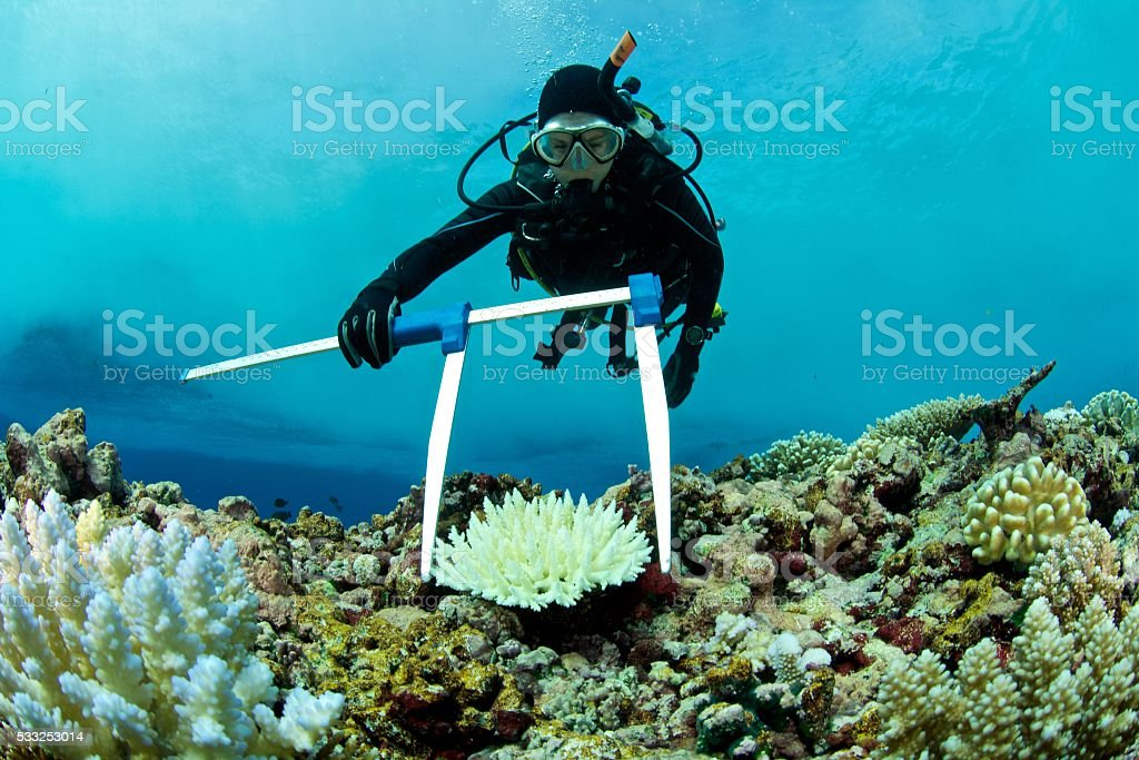 marine biologist measures bleached coral stock photo