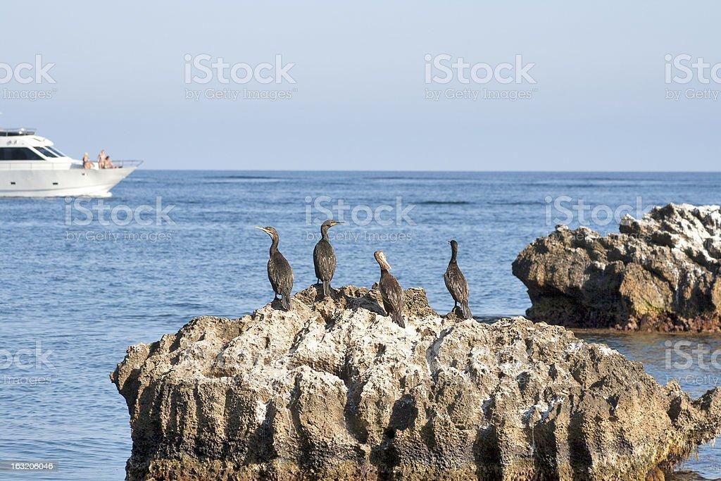 marine cormorants on sea rock royalty-free stock photo