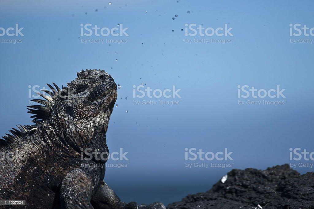 Marine iguana excretes/sneeze salt water stock photo
