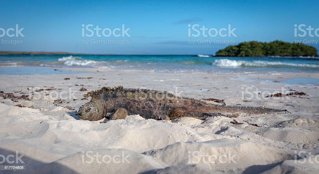 Marine Iguana Galapagos ,Isabella Island stock photo