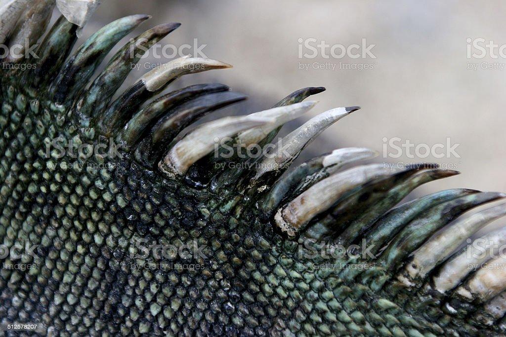 Marine Iguana, Galapagos Islands stock photo