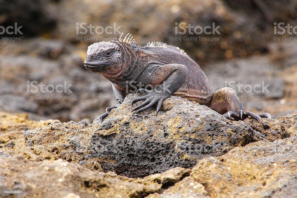 Marine Iguana on Chinese Hat island, Galapagos National Park, Ec stock photo