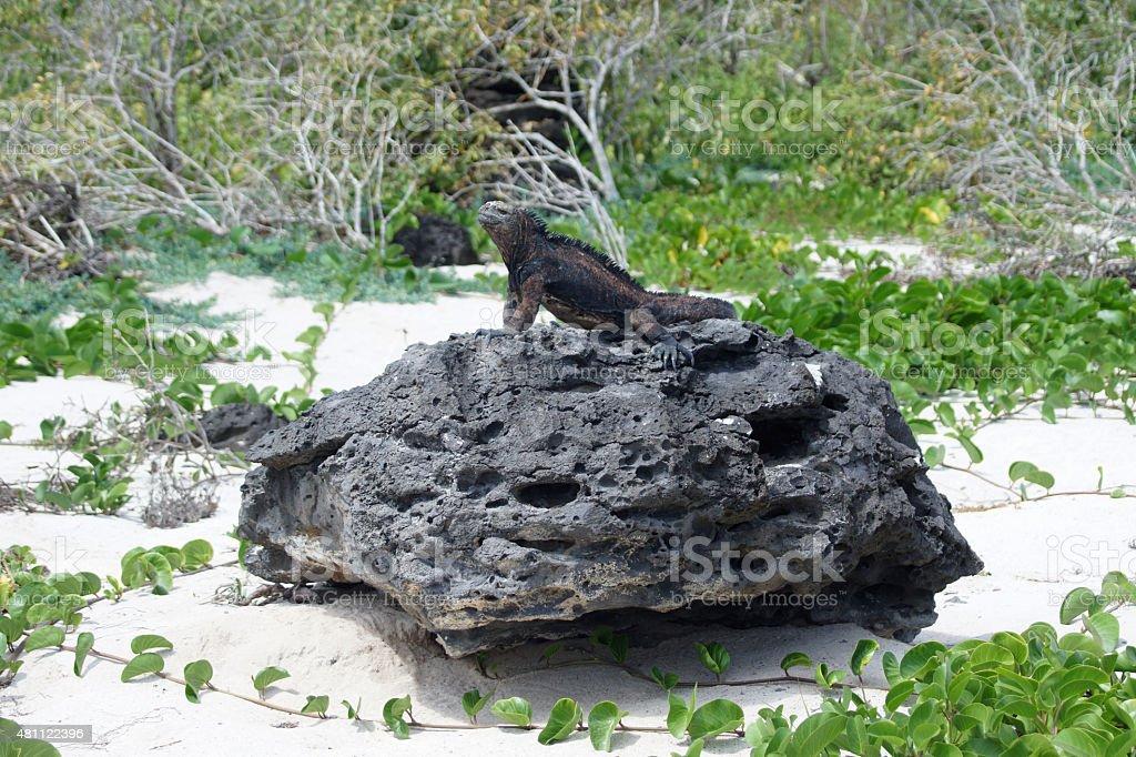 Marine iguana stock photo