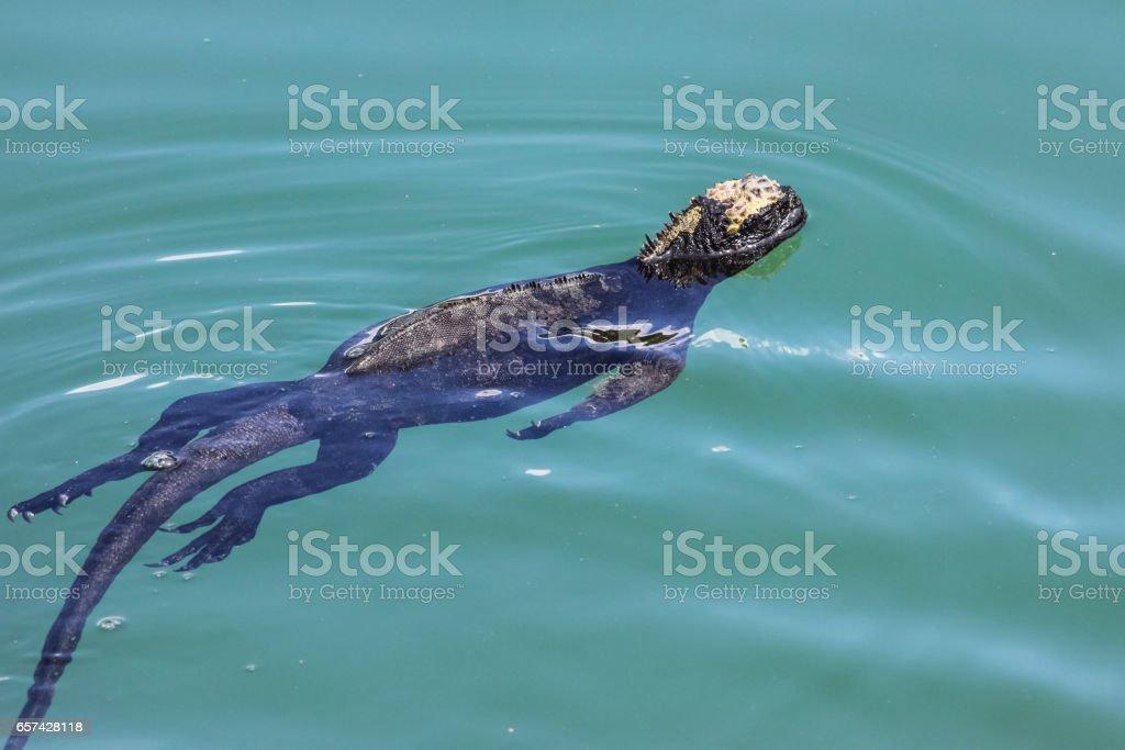 Marine Iguana swimming in the sea, Puerto Ayora, Las Tintoreas stock photo