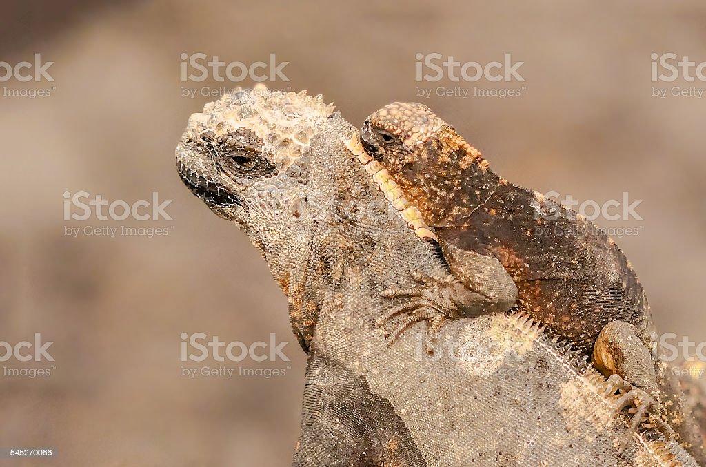 Marine Iguanas, Galapagos Islands, Ecuador stock photo