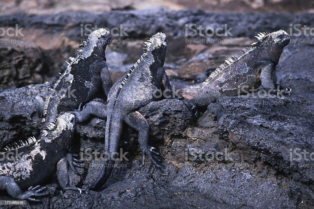 Marine Iguanas Isla Santiago Galapagos stock photo