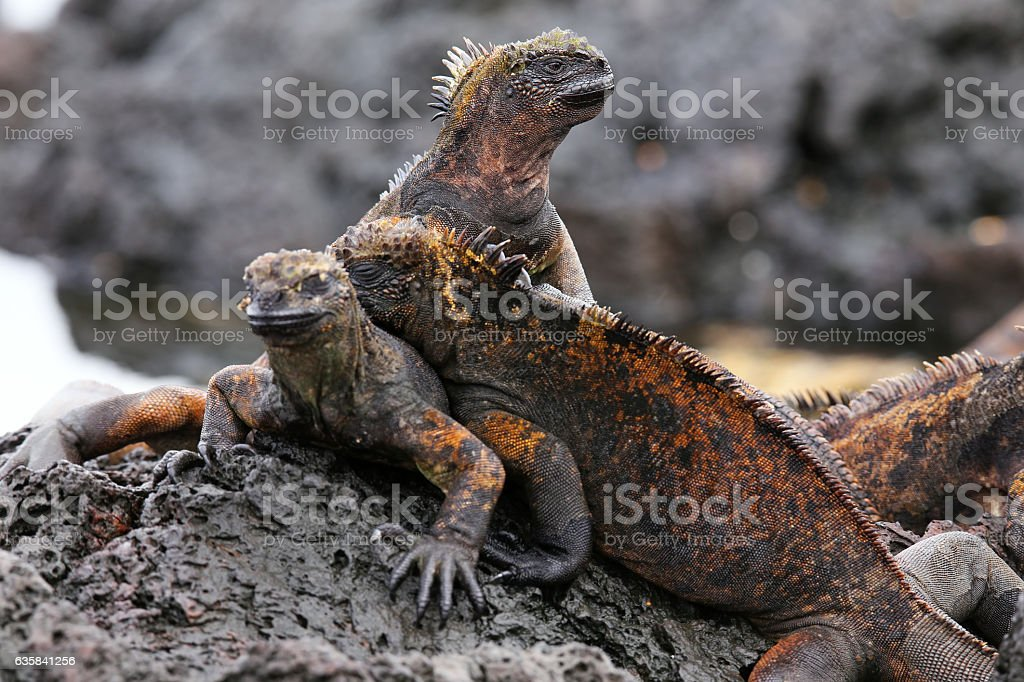 Marine iguanas on Santiago Island in Galapagos National Park, Ec stock photo