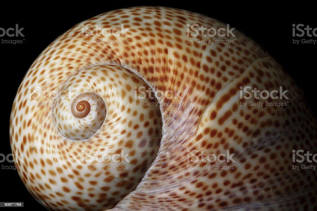 Marine Sea Shell royalty-free stock photo