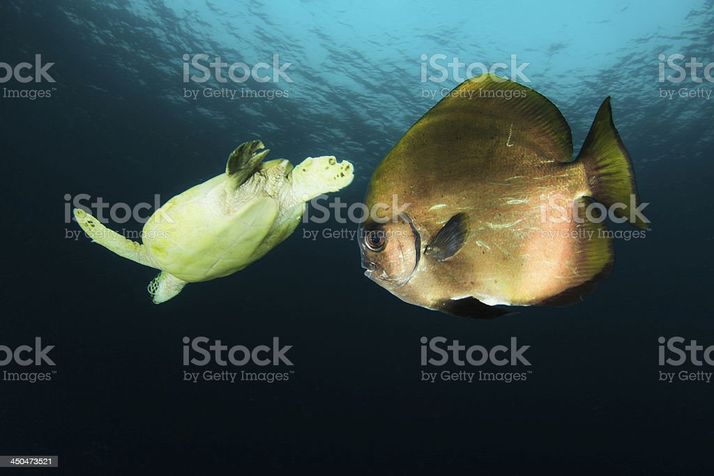 Marine Turtle and batfish royalty-free stock photo