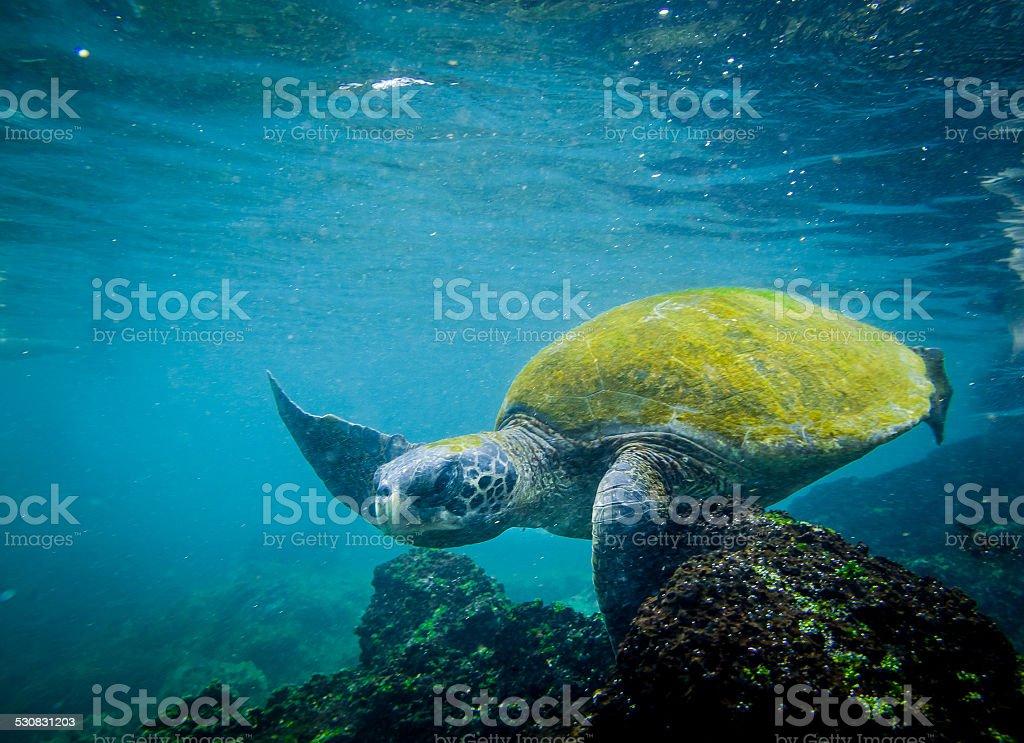 marine turtle swimming underwater stock photo