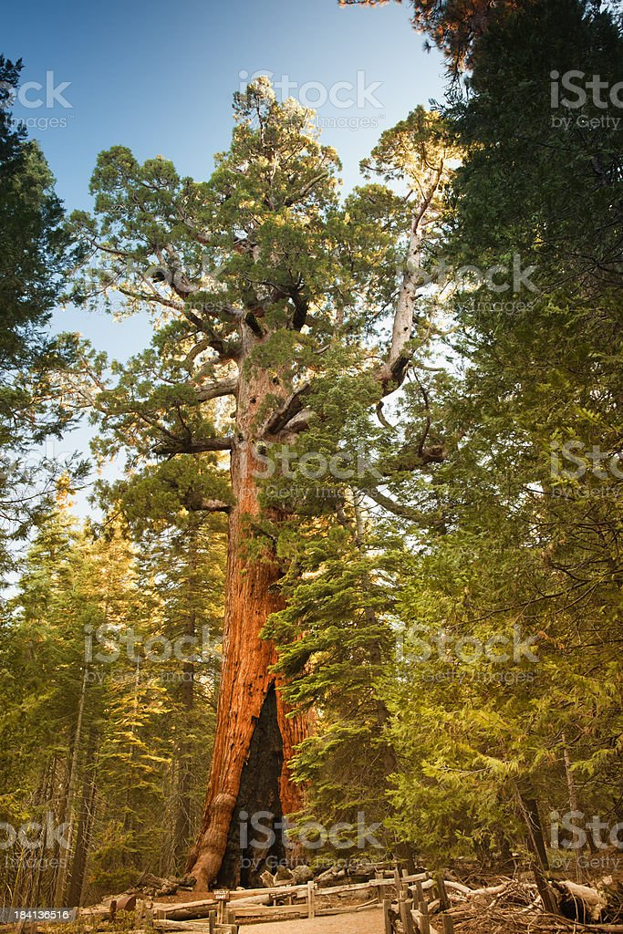 Mariposa Grove trees Grizzly Giant royalty-free stock photo