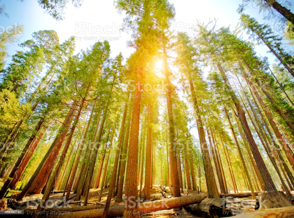 Mariposa Grove trees in Yosemite National Park stock photo