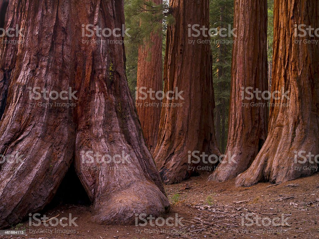 Mariposa Grove Trees stock photo