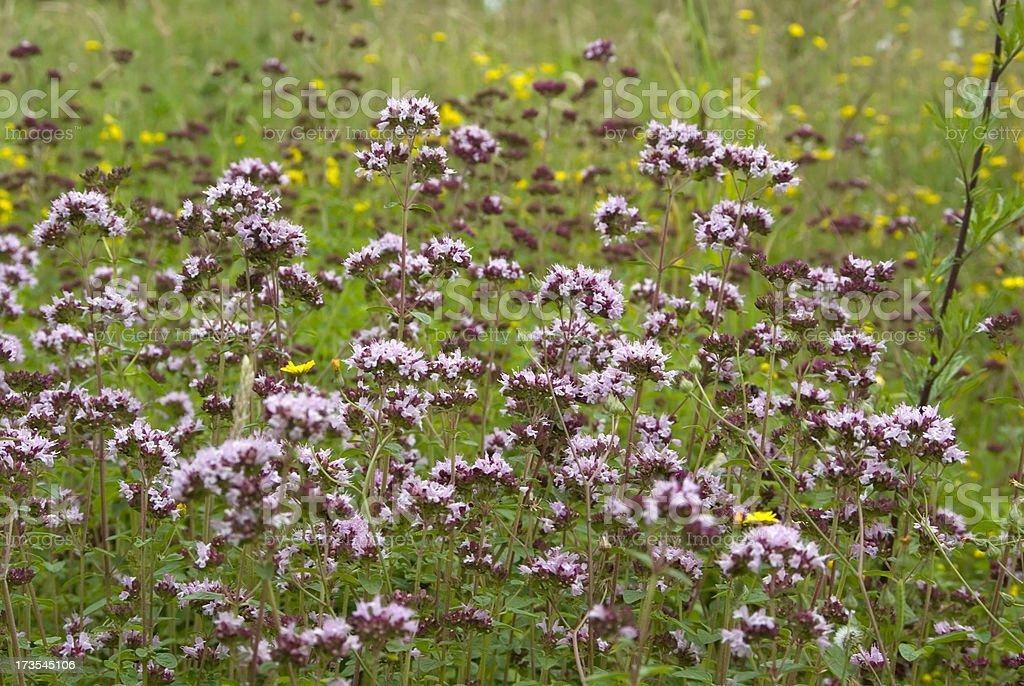 Marjoram (Origanum vulgare) stock photo