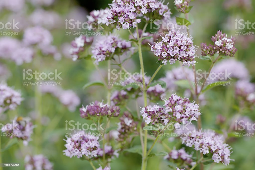 Marjoram (Origanum vulgare) royalty-free stock photo