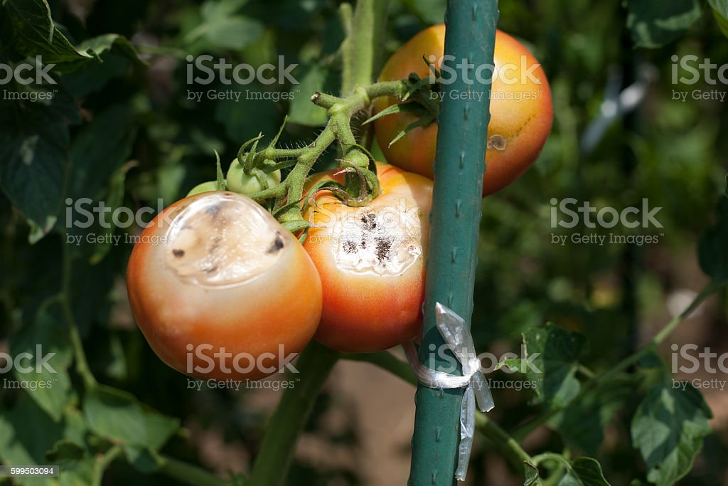 Mark of feeding damages by Thysanoptera on tomato stock photo